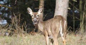 fl-jeffery-wright-white-tail-deer_0